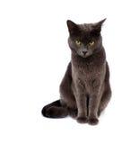 Graue Katze auf weißem Hintergrund lizenzfreie stockfotografie