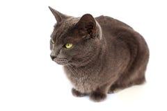 Graue Katze auf weißem Hintergrund lizenzfreies stockfoto