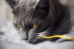 Graue Katze beißt enthusiastisch das gelbe Kabel stockfoto