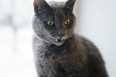 Graue Katze überraschtes Gesicht Stockfotografie