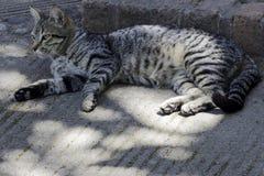 Graue Katze der getigerten Katze, die in der Sonne sich entspannt stockfotos