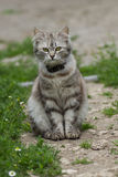 Graue Katze der getigerten Katze Lizenzfreie Stockfotos