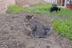 Graue Katze der getigerten Katze, die auf dem Boden im Hinterhof pinkelt Lizenzfreie Stockbilder