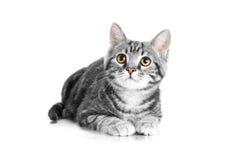Graue Katze der getigerten Katze, die auf weißem Hintergrund liegt Stockfotos