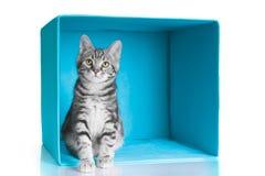 Graue Katze der getigerten Katze im blauen Würfel Stockfoto