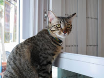 Graue Katze der getigerten Katze sitzen neben Fenster lizenzfreie stockfotos