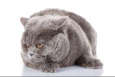 Graue Katze des Porträts britisch gerade mit gelben Augen auf Weiß lizenzfreie stockfotografie