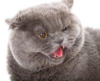 Graue Katze des Porträts britisch gerade mit gelben Augen auf Weiß stockbild
