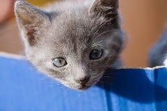 Graue Katze, die über dem Rand des Kastens schaut Stockfotografie
