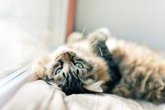 Graue Katze, die auf Bett liegt Lizenzfreie Stockfotografie