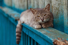 Graue Katze, die auf dem Zaun liegt Stockfoto