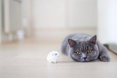 Graue Katze, die auf den Boden legt Lizenzfreie Stockfotos