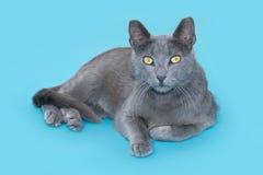 Graue Katze, die auf einem blauen Hintergrund, Kamera betrachtend liegt Lizenzfreies Stockbild