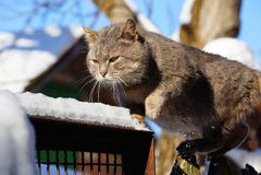Graue Katze, die auf einen Zaun im Schnee geht Lizenzfreie Stockbilder