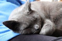 Graue Katze, die auf Schoss schläft Stockfotos