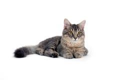 Graue Katze, die auf weißem Hintergrund liegt Stockbilder