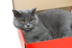 Graue Katze, die in einer Pappschachtel liegt Weißer Hintergrund stockfoto