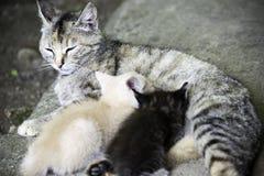Graue Katze, die ihre kleinen hungrigen Kätzchen pflegt stockbild