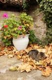 Graue Katze, die im Herbstlaub schläft Lizenzfreies Stockfoto