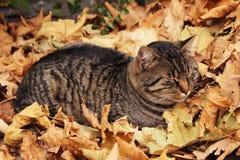 Graue Katze, die im Herbstlaub schläft Stockbild