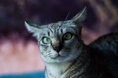 Graue Katze, die Kamera mit entsetztem Gesicht betrachtet Stockbild