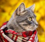 Graue Katze in einem karierten Schal auf Herbsthintergrund stockfotos