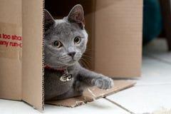 Graue Katze in einem Kasten Stockbild