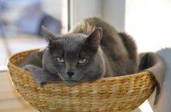 Graue Katze hat ein Haar im Weidenkorb Stockfotos