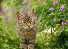 Graue Katze im Frühjahr, die Natur blüht Stockbild