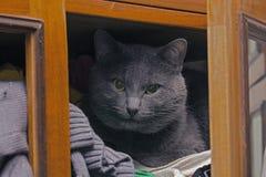 Graue Katze im Wandschrank Stockbild