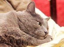 Graue Katze liegt in den Träumen Stockfoto