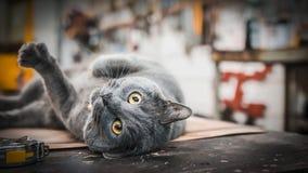 Graue Katze, mit dem Durchbohren von den gelben Augen, rollend in der Werkstatt Stockfotos