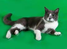 Graue Katze mit den weißen Stellen, die auf Grün liegen Stockbilder