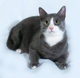 Graue Katze mit den weißen Stellen, die auf Grau liegen Stockfotografie