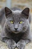 Graue Katze mit gelben Augen stockbilder