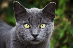Graue Katze mit gelben Augen Lizenzfreies Stockbild