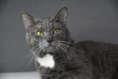 Graue Katze mit gelben Augen auf einem grauen Hintergrund Stockfotos