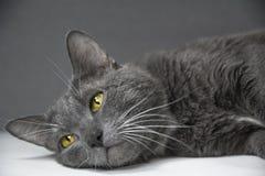 Graue Katze mit gelben Augen auf einem grauen Hintergrund Lizenzfreie Stockfotografie