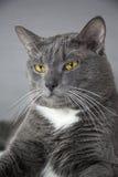 Graue Katze mit gelben Augen auf einem grauen Hintergrund Lizenzfreies Stockbild