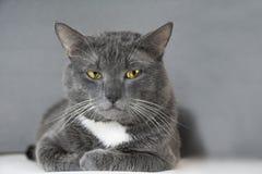 Graue Katze mit gelben Augen auf einem grauen Hintergrund Stockbild