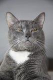 Graue Katze mit gelben Augen auf einem grauen Hintergrund Stockfotografie