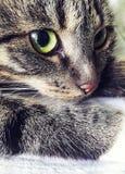 Graue Katze mit grün-gelben Augen Eine Nahaufnahme der Mündung Stockbild