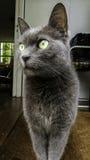 Graue Katze mit grünen Augen Stockfotografie