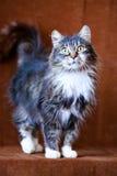 Graue Katze mit großen Augen Stockfotografie