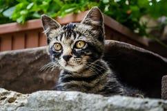 Graue Katze mit orange Augen, Lizenzfreie Stockbilder