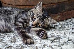 Graue Katze mit orange Augen, Stockfotos