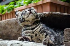 Graue Katze mit orange Augen, Lizenzfreies Stockfoto