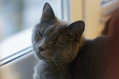 Graue Katze sitzt auf Fenster Lizenzfreie Stockfotografie
