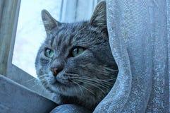 Graue Katze sitzt hinter einem weißen Vorhang am Fenster stockfoto