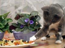 Graue Katze stiehlt Nahrung von der Platte Lizenzfreies Stockbild